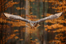 Eurasian Eagle Owl, Bubo Bubo, With Open Wings In Flight, Forest Habitat In Background, Orange Autumn Trees. Wildlife Scene From Nature Forest, Russia. Bird In Fly, Owl Behaviour.