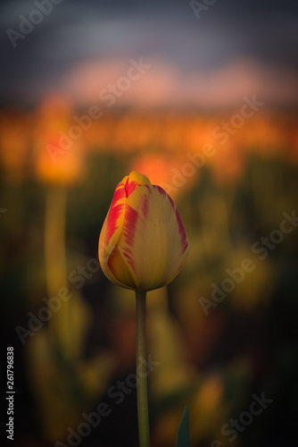 Photo  Selectively focused single red and yellow tulip in soft warm light
