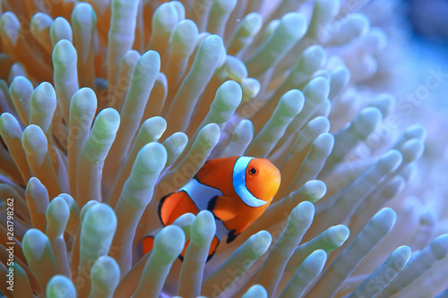 clown fish coral reef / macro underwater scene, view of coral fish, underwater d Wallpaper Mural