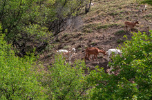 Goat Pasture On The Mountain