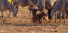 Blue Wildebeest Connochaetes T...