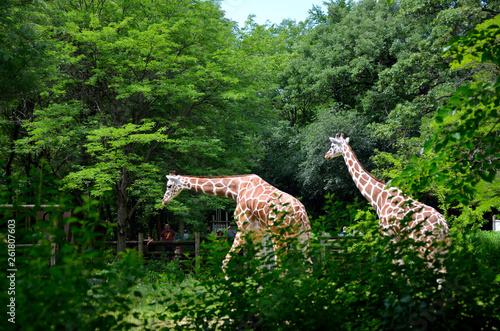 Photo  giraffe's roaming
