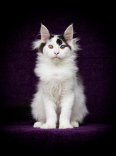 Maine Coon Cat On Lilac Background