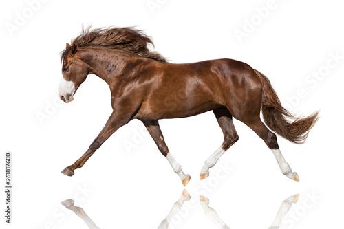 Fototapeta Beautiful  stallion trotting isolated on white background obraz