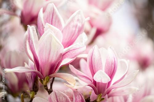 Obrazy Magnolie  makro-z-magnolii-spodka