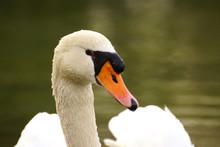 Portrait Of Mute Swan