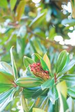 Seeds Classic Magnolia Tree. M...