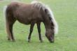 Pferd (Shetland-Pony) auf saftig grüner Wiese