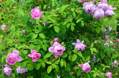 A Beautiful Pink Rose Bush