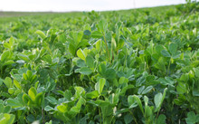 In The Spring Field Young Alfalfa Grows