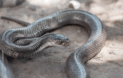 Fotografie, Obraz  Brown slick snake in the sand