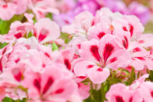 Two-tone Pink Geranium Flowers.