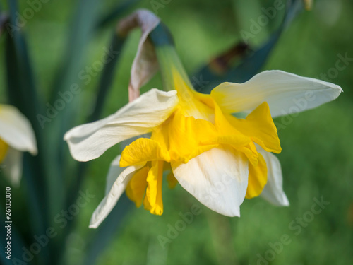 Fotografie, Obraz  single close up yellow and white Daffodil flower Narcissus selective focus, blur