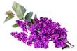 Syringa vulgaris, Lilac. Purple lilac flower on white background