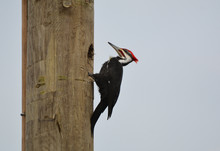 Pileated Woodpecker On Pole