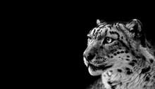 Beautiful Portrait Of A Snow Leopard On Black Background. Portrait Of A Wild Cat Irbis (Uncia Uncia)