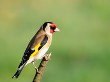 Goldfinch Perching