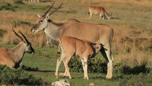 Antelope - Eland Calf Suckling...