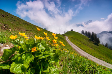 Bright alpine flowers on the meadow in Swiss alps