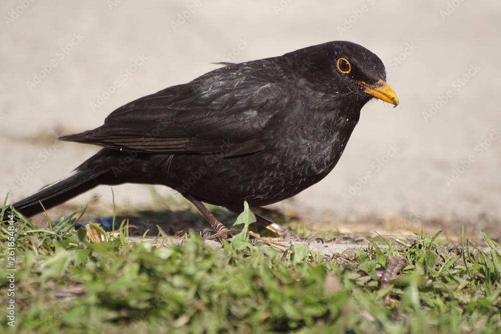 Fototapeta Kos ,czarny ptak ,ptak