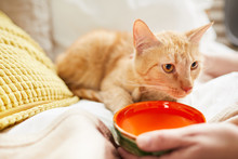 Closeup Of Unrecognizable Woman Offering Water To Ginger Cat Lying On Bed, Copy Space