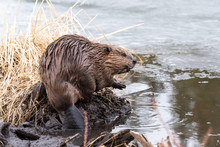 A Young Beaver On The Edge Of The Dam
