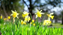 Yellow Daffodils Field Background Bright Yellow Green Plants Flowers Blooming