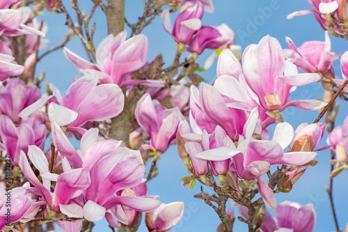 Foto op Plexiglas Magnolia magnolia flower blue sky