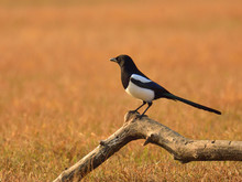 The Common Magpie (Pica Pica) Sitting On A Meadow At Sunset