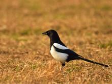 The Common Magpie (Pica Pica) ...