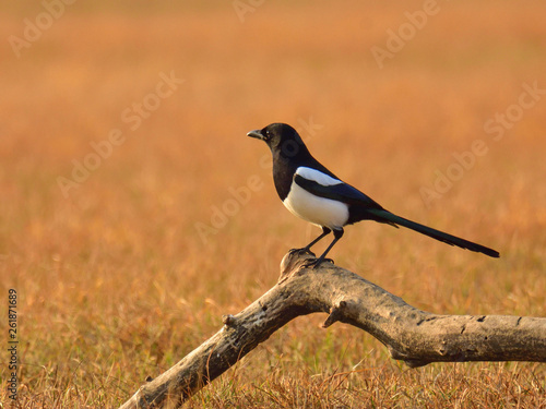 Fototapeta The common magpie (Pica pica) sitting on a meadow at sunset