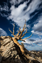 Ancient Bristlecone Pine Forest In The White Mountains Located In Inyo County In Eastern California Just North Of Death Valley. The Old Tree Is Set Against A Striking Cloudy Blue Sky