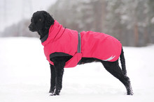 Black Curly Coated Retriever D...