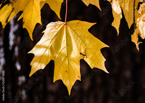 Yellow maple leaf contrasted against a chocolate brown tree trunk. The contrast of autumn is illustrated in the shot taken during peak fall foliage leaves colors.