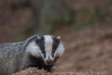 European Badger, Meles Meles, Walking, Eating Close Up At Ground Level During April In Scotland.