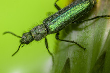 Aromia Moschata Longhorn Beetle Green  One Of Kind Morocco