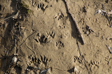 Raccoon Footprints In The Sand