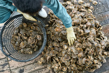 Mollusk Sorting Process On Oyster Farm In Vietnam
