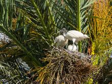 Australian White Ibises Bird Nest On Palm Tree In New South Wales, Australia Forest.