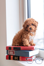 Toy Poodle Puppy On Books