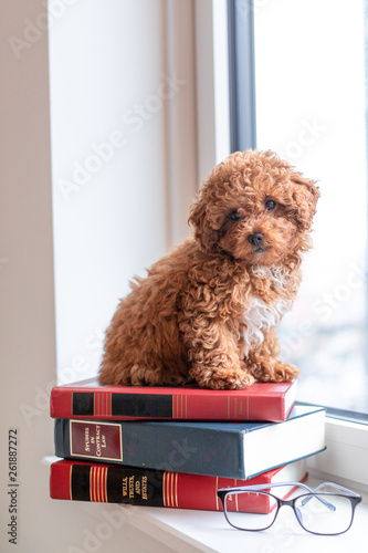 Toy poodle puppy on books Poster Mural XXL