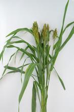 Corn Stalk On White Background