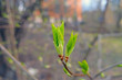 Kidneys opened on the trees. Spring green composition. Blurred background.