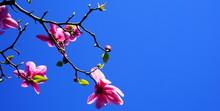 Magnolia Blossom Tree. Beautiful Magnolia Flowers Against Blue Sky Background Close Up. Japanese Magnolia.