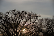 Great Blue Heron Rookery Silhouette