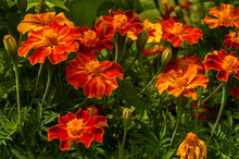 French Marigold Flowers In Garden Closeup As Floral Background