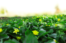 Beautiful Glade With Green Plants And Yellow Flowers In Spring.