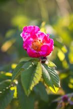 Flowers Of Dog-rose Rosehip Gr...