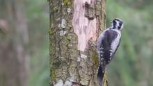 Eurasian Three-toed Woodpecker...