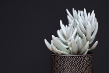 Beautiful White Senecio Haworthii Succulent Potted House Plant On Dark Background
